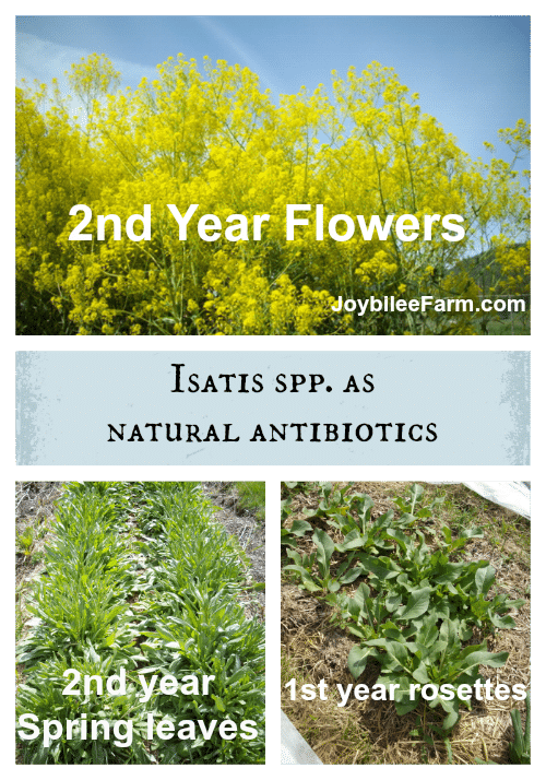 Isatis spp. plants showing 1 and 2 year flowers and leaves