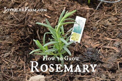 How to Grow Rosemary -- Joybilee Farm