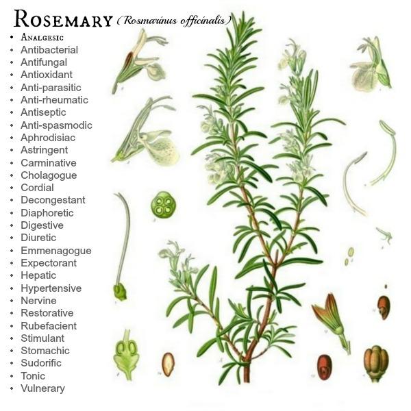 Rosemary Botanical study