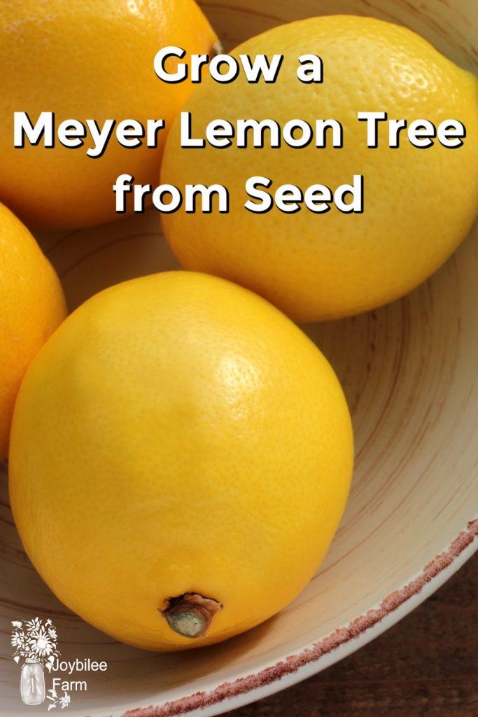 grow a meyer lemon tree from seed