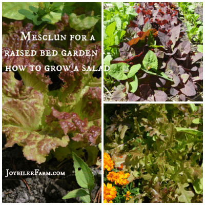 Mesclun for a raised bed garden — how to grow a salad