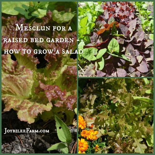Mesclun for a Raised Bed Garden: How to grow a salad -- Joybilee Farm