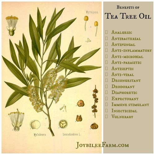 Tea Tree oil plant diagram and benefits