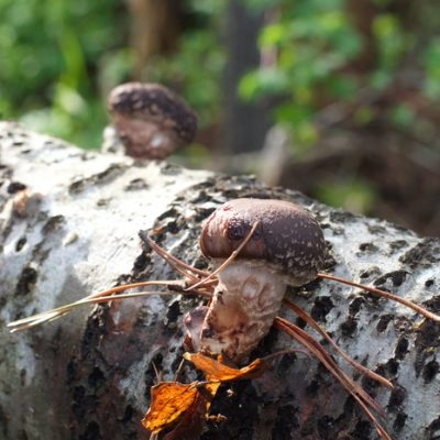 Growing Shiitake Mushrooms on Logs Even If You've Never Grown Mushrooms Before