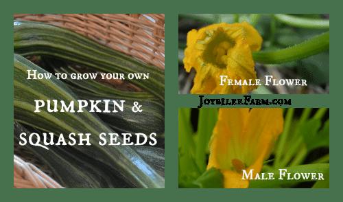 How to grow your own pumpkin seeds and squash seeds -- Joybilee Farm