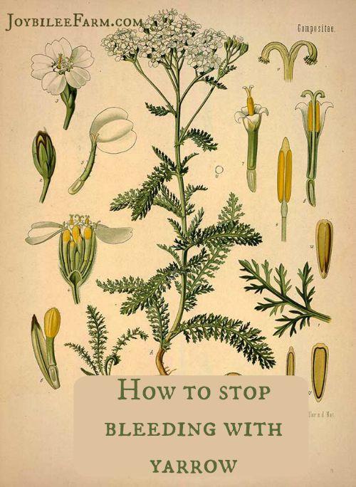 How to stop bleeding with yarrow -- Joybilee Farm
