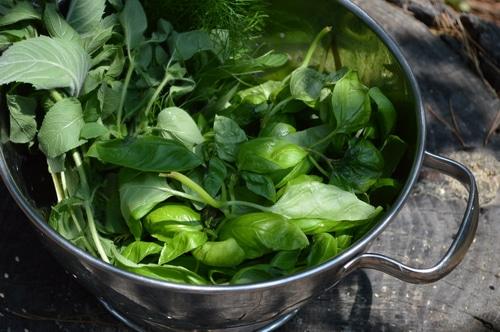 basil and herbs