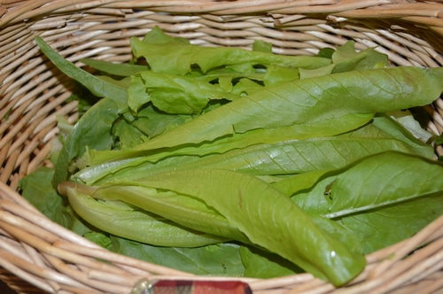gathering lettuce