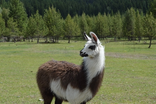 Avoiding winter injuries on the homestead for the Llamas