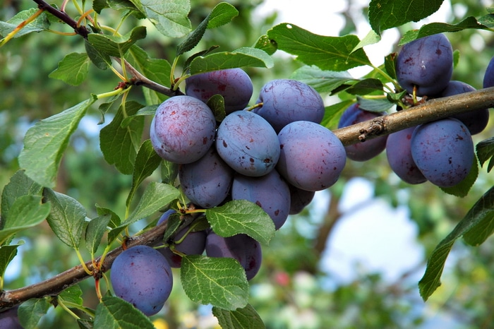 Italian prune plums ready to pick in August.