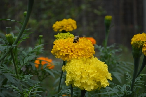 Marigold with bumble bee