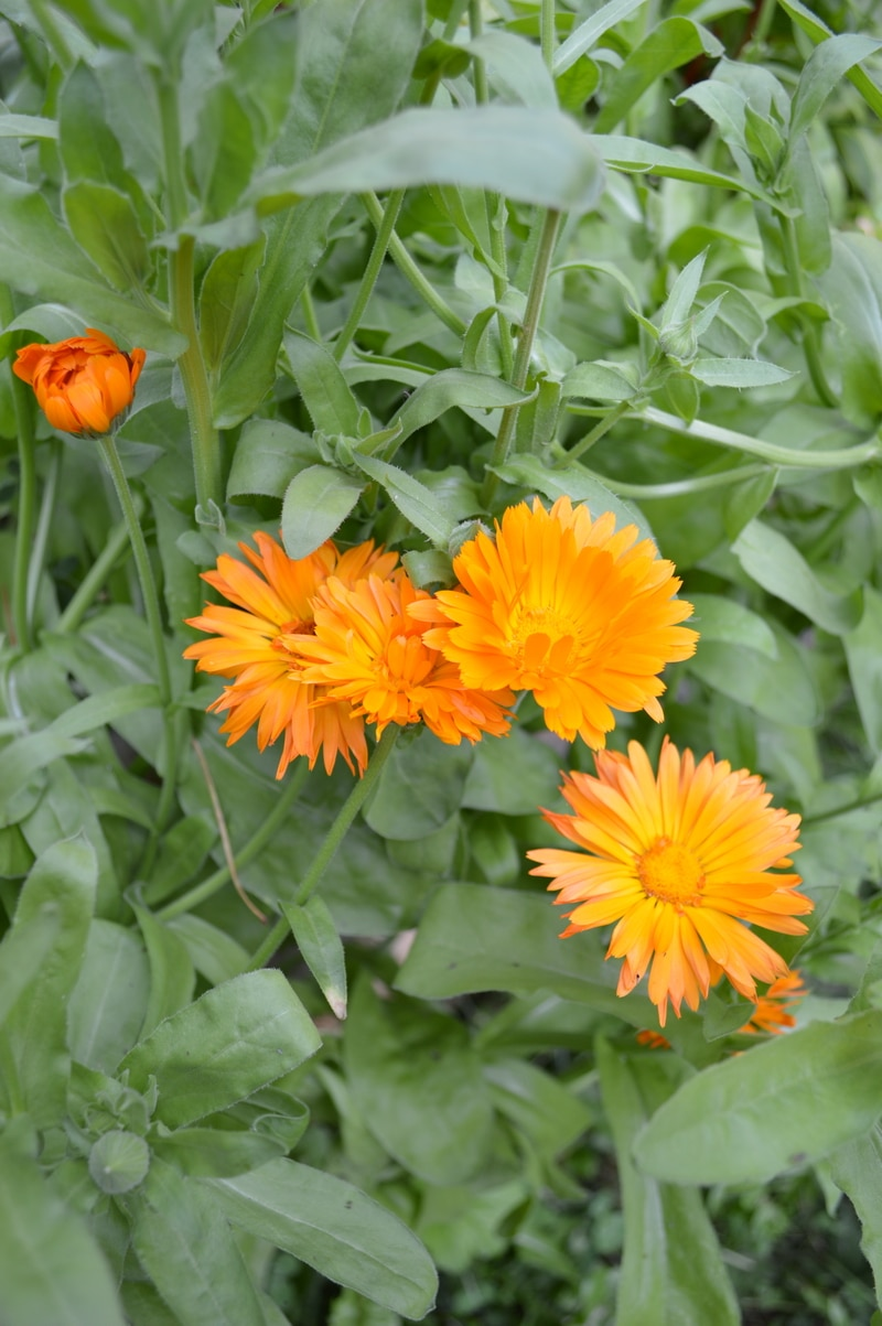 Orange calendula flowers growing