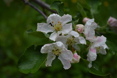 crab apples bees