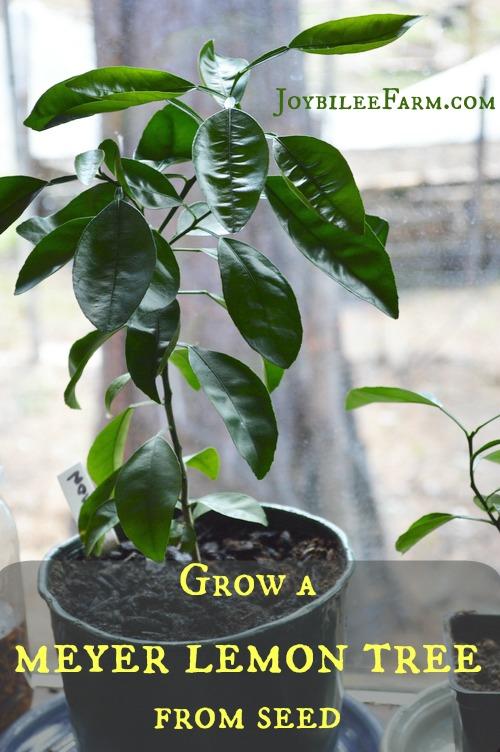 Grow a meyer lemon tree