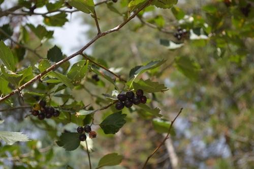 Black Hawthorn berries