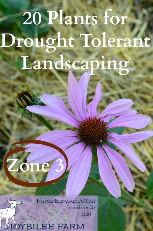 20 plants for drought tolerant landscaping Most seedlings and perennials require irrigation at least until they become established. Even drought tolerant plants will require watering while their roots expand and become established. This list of drought tolerant plants will be tolerant of dry conditions only after they become established in your landscape. Plan to provide some water in the early spring after planting or transplanting. Use drip irrigation if you have a limited supply of water and consider using grey water or rain catchment, for water-wise gardening