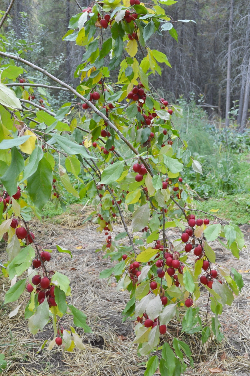 Ripe red crab apples on a branch