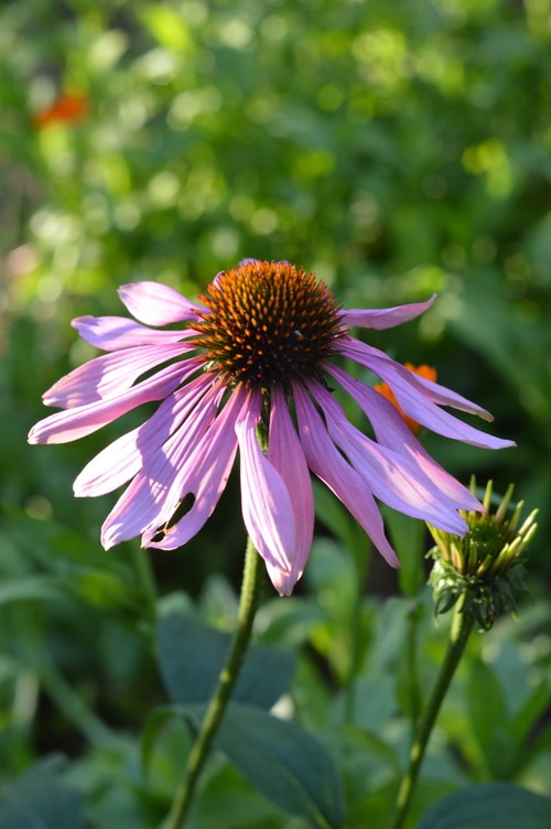 Echinacea flower - Immune Boosting Remedies
