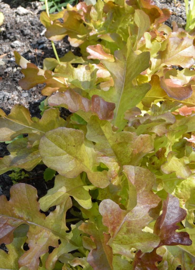 Red oak leaf lettuce leaves