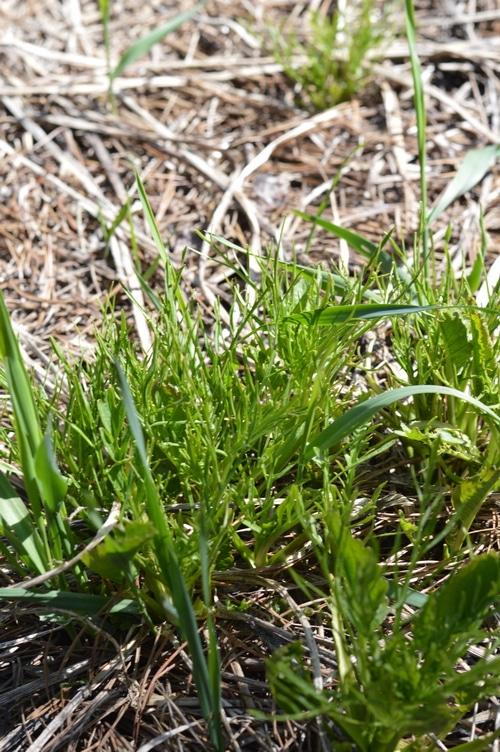 Horseradish spring greens