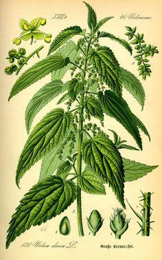 Nettle plant illustration