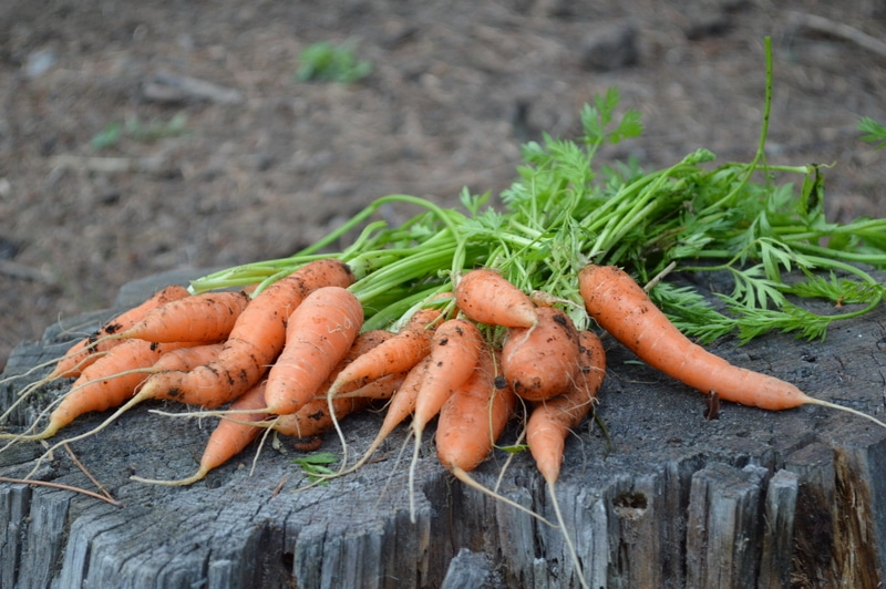carrots an easy to grow vegetable