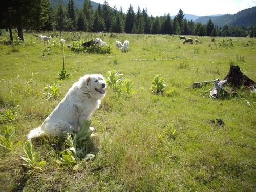 Dog with sheep facing camera