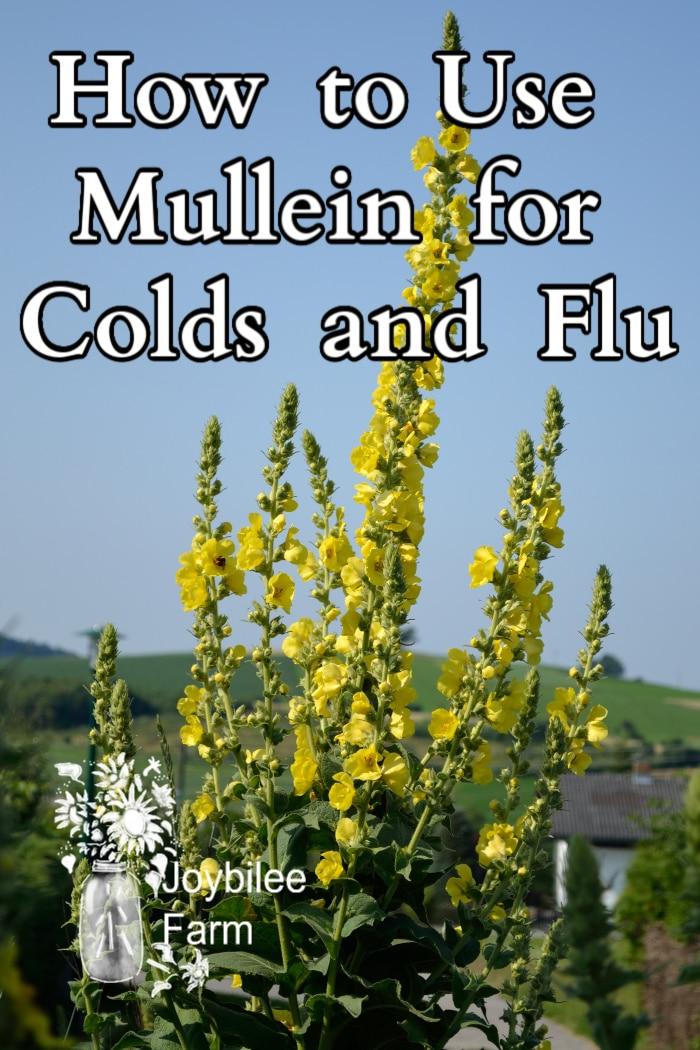 An image of mullein flower stalks