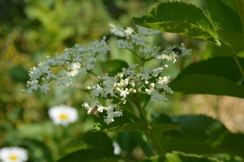 Elderberry flowers with bees
