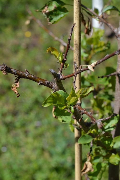 apricot tree after using insecticidal soap