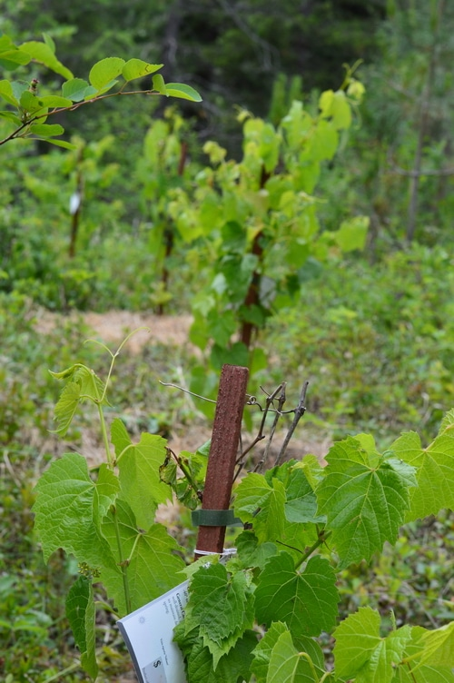 grape in a row