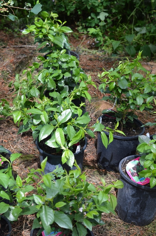 shrub cherries waiting to be transplanted to the edible garden