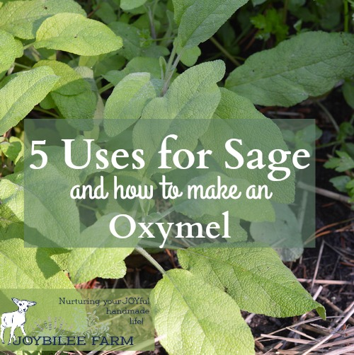 """Sage herb is a rock star when it comes to fighting colds, flu, fevers, and coughs. Sage's botanical name """"Salvia"""" means """"to feel well and healthy, health, heal."""" It comes from the Latin """"salus"""" meaning """"health, well-being, prosperity or salvation"""". """"Officinalis"""" means that this particular herb has had a recognized herbal or medicinal use for centuries."""