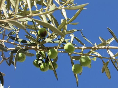 olive-leaf-and-fruit-1