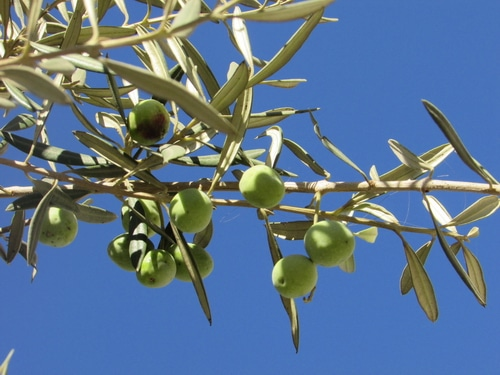 DiY Olive Leaf Extract With Benefits