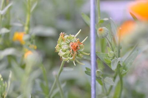 Calendula flower forming seeds