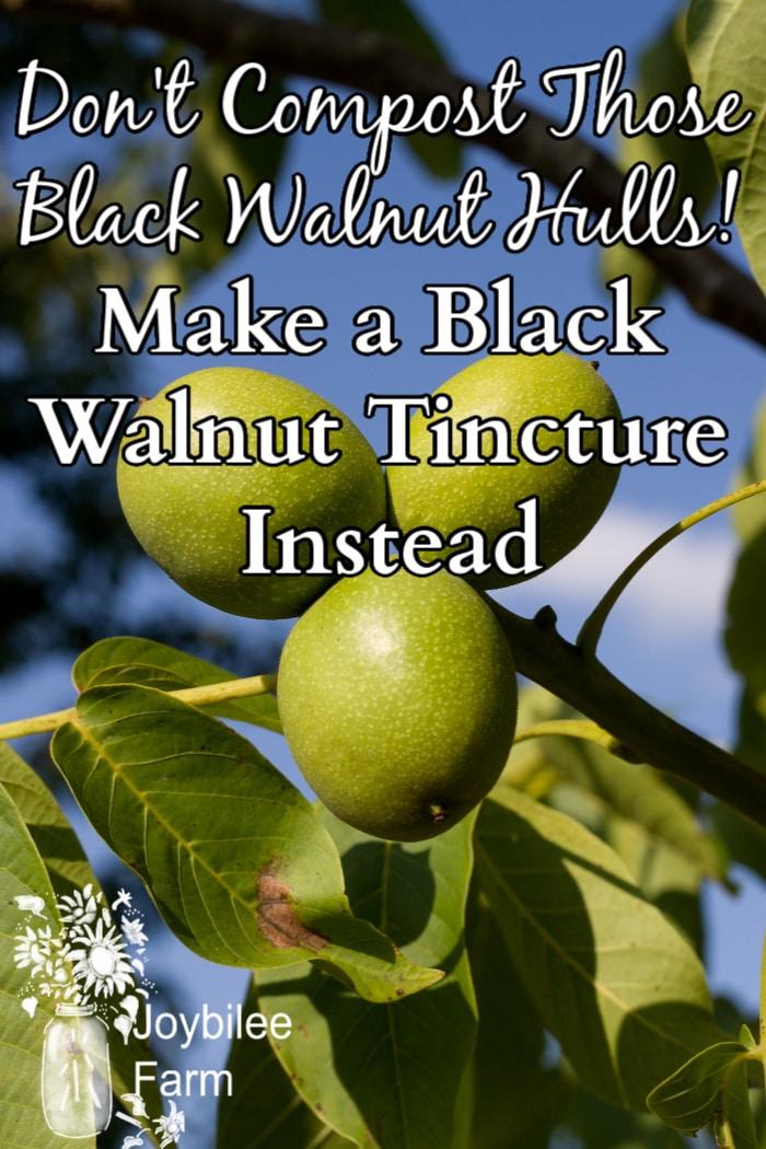 black walnuts still on the tree