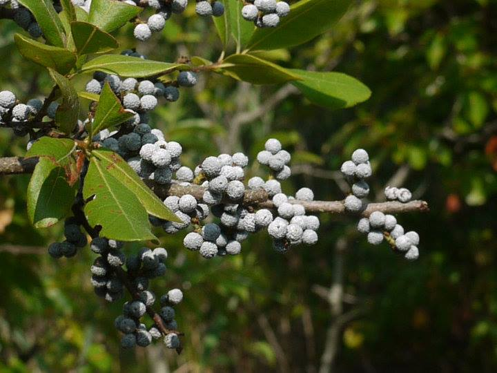 """""""A bayberry candle burnt to the socket brings food to the larder and gold to the pocket."""" New England Proverb"""