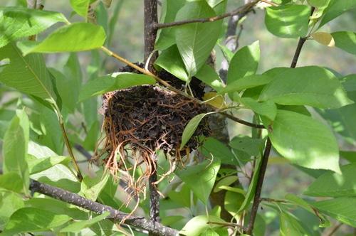 black walnut clone rooted