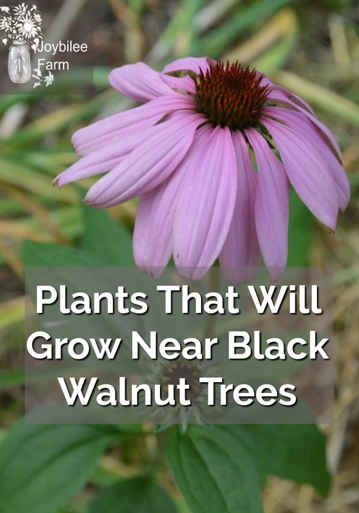 a purple Echinacea flower
