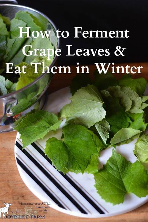 Fermented grape leaves, when used raw provide beneficial microbes. Grape leaves are a good source of Vitamins A, B6, C, E, K, niacin riboflavin, and folate as well as Calcium, Magnesium, Copper, Manganese, and Iron, and a very good source of Dietary Fiber. They are also high in β-Glucans (beta glucans), which are naturally occurring polysaccharides which stimulate the immune system and have been shown to fight cancer.