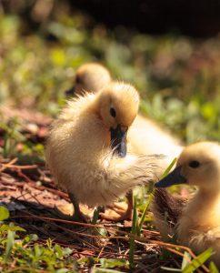 3 Ducklings in grassy area