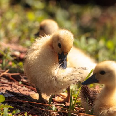 Best Practices for Hatching Duck Eggs in a Small Incubator
