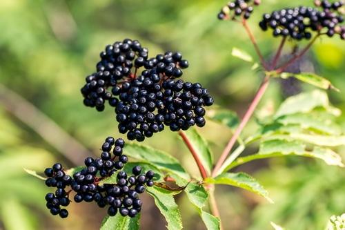 elderberries- Immune Boosting Remedies