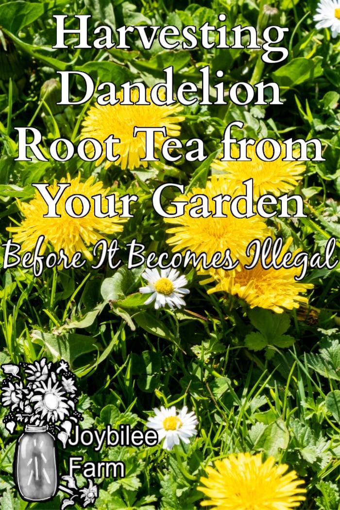 dandelion flowers in grass