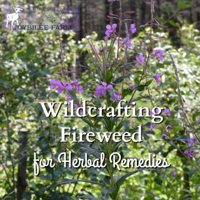 Wildcrafting Fireweed for Herbal Remedies