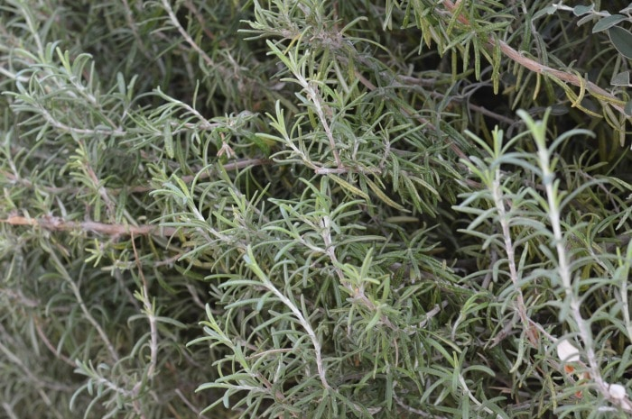 """When you consider rosemary think, """"Rosemary is for remembrance"""" and you'll capture the very best of this amazing culinary and medicinal herb."""