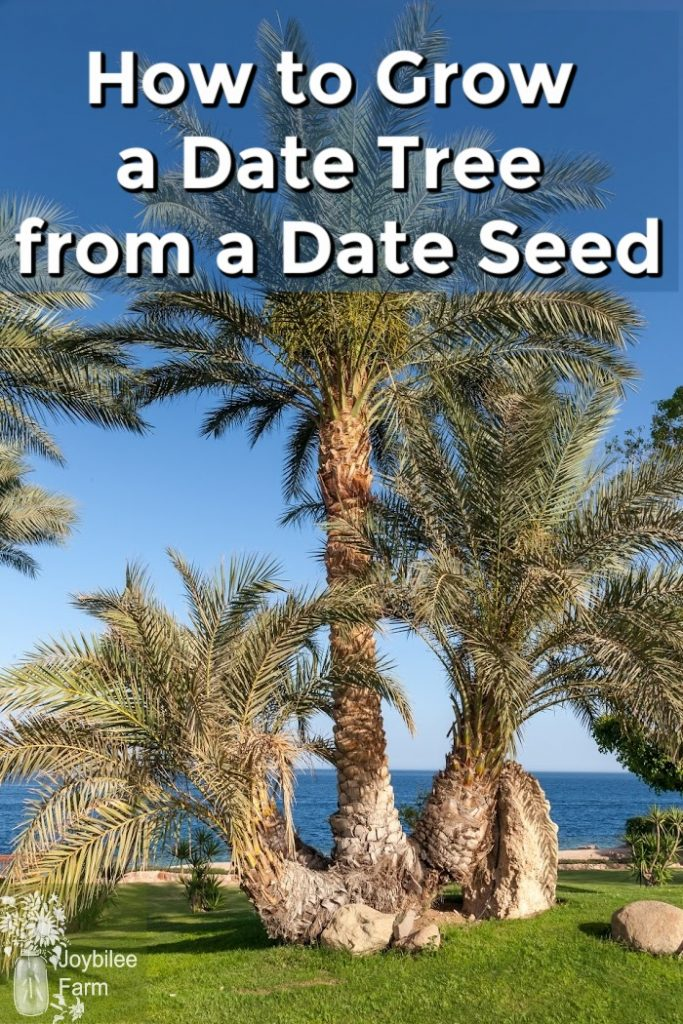 Date tree with blue sky and beautiful ocean behind it
