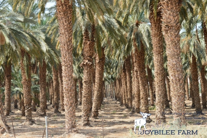 You can grow a date tree from a date seed easily using store bought dates or dates you find at the farmer's market in your area. Here's what you need.
