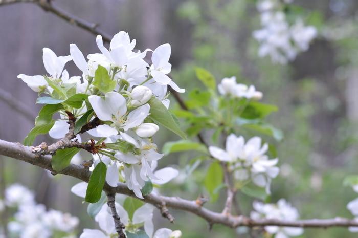 Appple blossoms